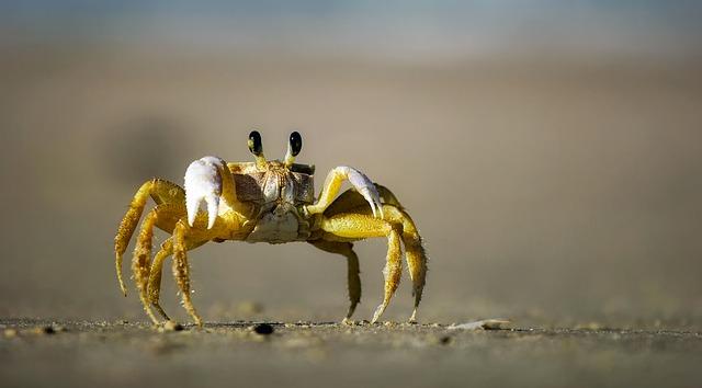 Grandcrab - Wie gefährlich ist die Krabbe?